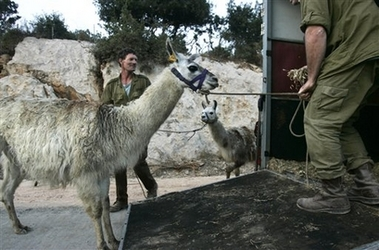 Israeli special forces using llamas